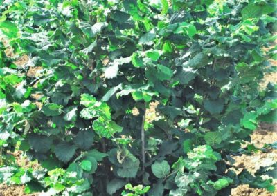 hazel-trees-for-sale-certified-ce-psr-nursery