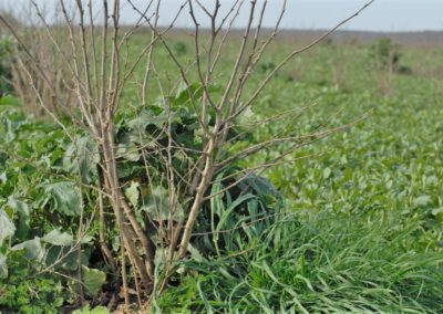 hazel-trees-for-sale-seedlings-processing