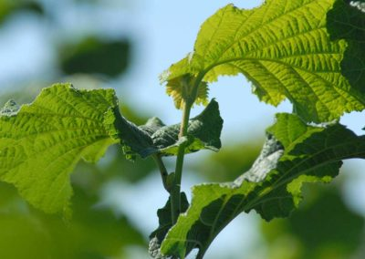 hazel-trees-for-sale-plant-nursery-stelo-european-benefits-psr