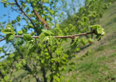 hazel-trees-for-sale-nursery-stelo-viterbo-vetralla